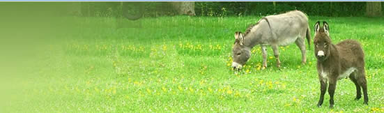 Orchard Bray Miniature Donkeys